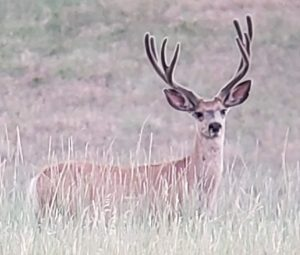 The Most Fun a Guy Can Have on Two Legs: A Muley Bowhunting Story
