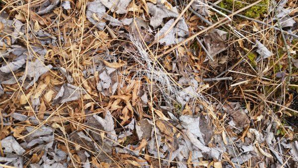 Deer bedding area